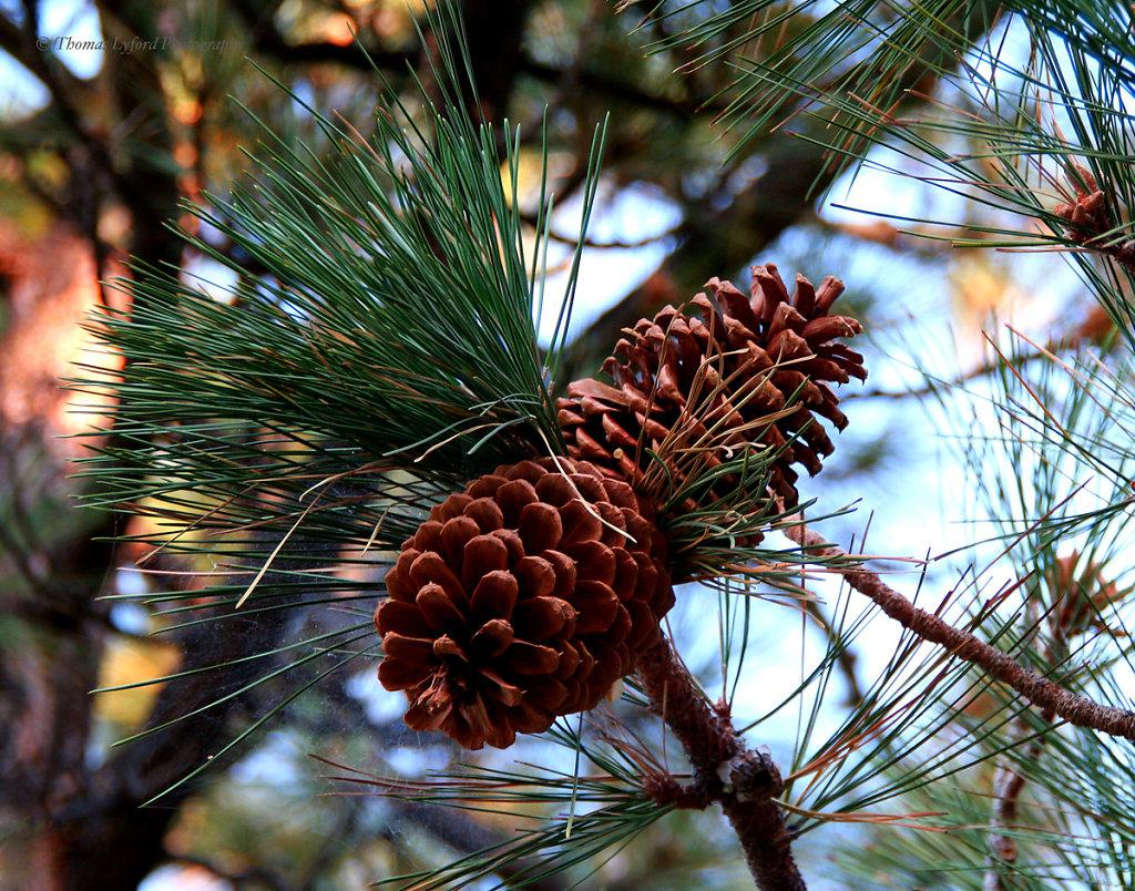 Tahoe-Pinecones-web.jpg